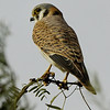 American Kestrel Falco sparverius female, Gilbert Water Ranch, Gilbert Arizona